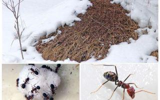 מה עושים הנמלים בחורף