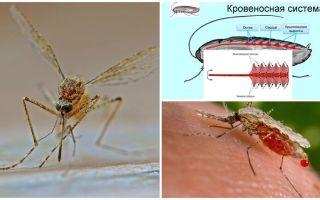 עובדות מעניינות על המבנה של יתושים