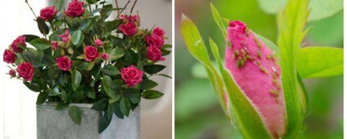 כנימות על ורדים - איך להתמודד עם איך להיפטר