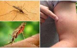 מה לעשות אם אתה ננשך על ידי יתוש anopheles