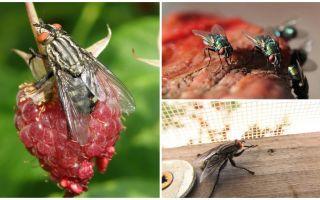 תיאור ותמונות זבובים הביתה