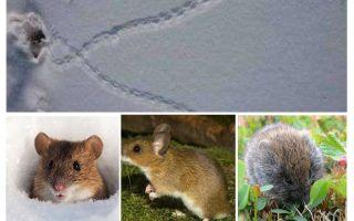 עקבות עכברים בשלג