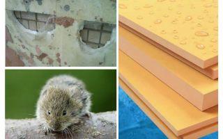 האם עכברים לאכול קצף פוליסטירן extruded