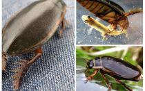 חיפושית שחיה