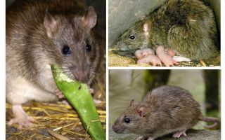 עכברושים פראיים