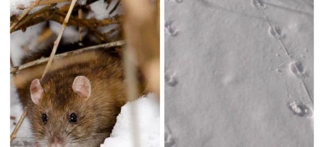 מה נראים מסלולי חולדה כמו בשלג
