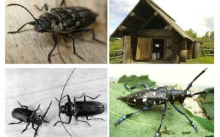 חיפושית חיפושית ותיאור