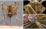 יתוש בנוף גדול יותר