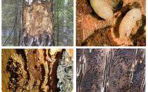 איך להתמודד עם החיפושית לנבוח בבית עץ