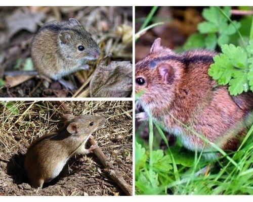 עכברי שדה