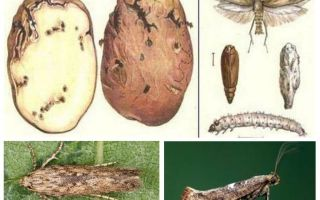 עש תפוחי אדמה - אמצעי בקרת אחסון
