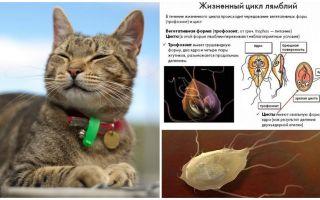 סימפטומים וטיפול של lamblia אצל חתולים