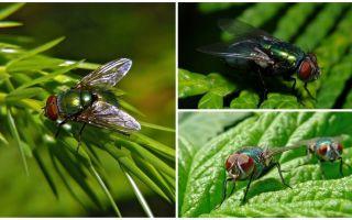 תיאור ותמונה של זבוב ירוק