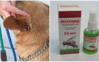 איך ומה לטפל באוזניים של כלב זבובים