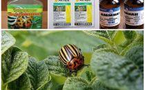 כיצד להיפטר לצמיתות החיפושית קולורדו על תפוחי אדמה וכיצד להרעיל אותו