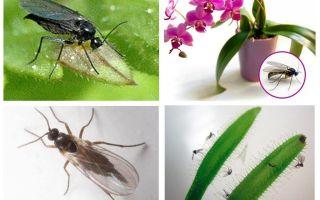 איך להיפטר יתושים פטריות (Sciarid)