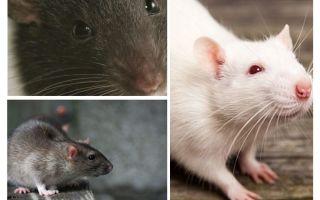 חזון עכברוש