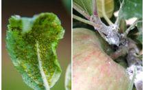 איך להיפטר כנימות על עצי תפוח