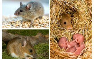 תוחלת החיים של עכברים
