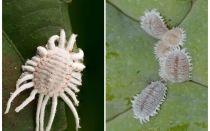 כיצד להיפטר mealybug על צמחים מקורה