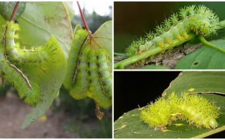 תיאור ותמונות של זחלים רעילים מסוכנים