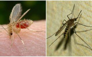 מה ההבדל בין יתושים לבין יתושים