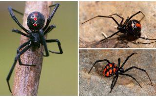 סוגים של עכבישים תמונות עם שמות ותיאורים