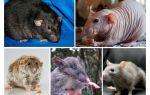מינים עכברוש