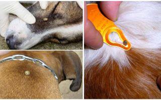 טיק לנשוך בכלב - סימפטומים, השפעות וטיפול בבית