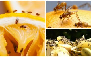 איך להיפטר זבובים פירות בחנות מטבח ותרופות עממיות