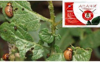 איך לגדל Apache מן החיפושית תפוחי אדמה קולורדו