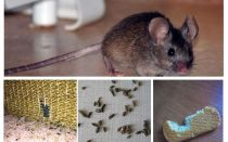 איך להתמודד עם עכברים בדירה