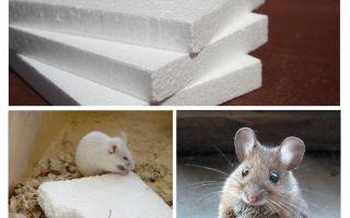 האם עכברים מכרסמים קצף