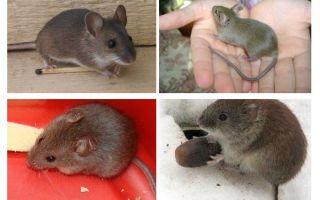 עכברי הבית