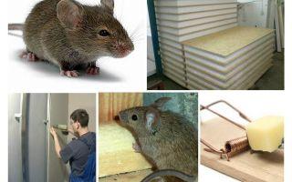 האם עכברים ללעוס לוחות נשר
