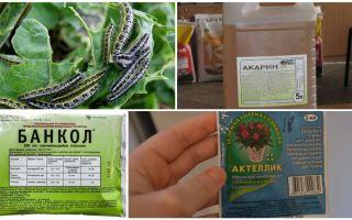 כיצד להיפטר זחלים על תרופות עממיות כרוב