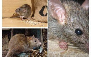 עכברים יכולים לתקוף בני אדם
