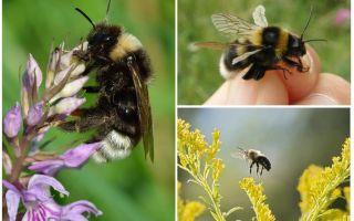 למה דבורת הבומבוס לא יכולה לעוף לפי חוקי הפיזיקה