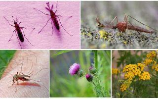 איזה זכרים ונקבות יתושים אוכלים