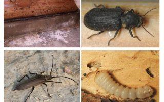 איך להיפטר מחיפושית החיפושית