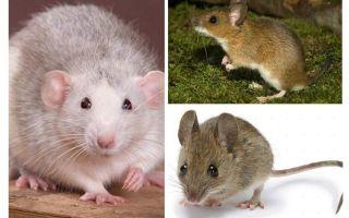 מבנה עכבר