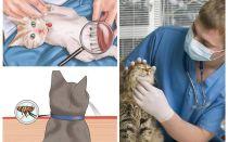 איך להיפטר פרעושים חתול או חתול בבית