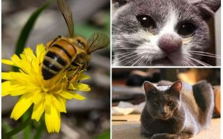מה לעשות אם חתול ננשך על ידי דבורה