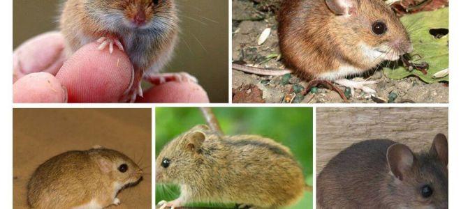 סוגים וסוגים של עכברים