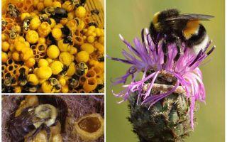 האם לדבש יש דבורי בומבוס