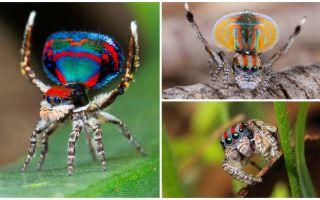 תיאור ותמונה של עכביש טווס