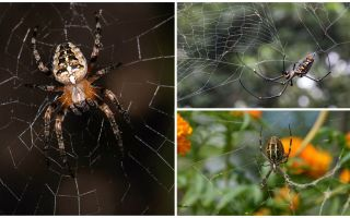 האם עכבישים יודעים איך לעוף
