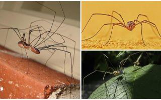 עכביש ממזר עם רגליים דקות ארוכות