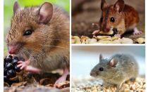מה עכברים לאכול