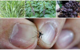 מה צמחים להדוף יתושים: דשא, עצים ופרחים